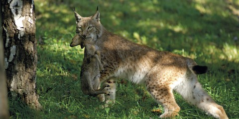Lynx 2805