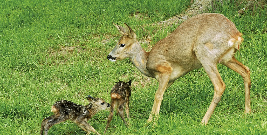 Chevreuil - avec 2 faons - Roe deer - wirth calf - 2 fawns - Capreolus capreolus
