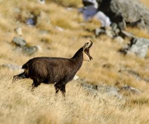 Chamois - Alpes - Alps - Rupicapra rupicapra