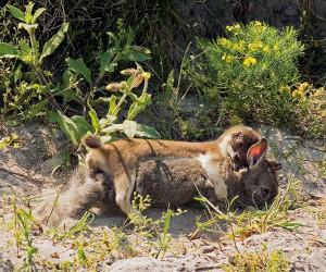 Großes Wiesel erbeutet junges Kaninchen, Genickbiss Mustela erminea Nationalpark Neusiedler See / Österreich