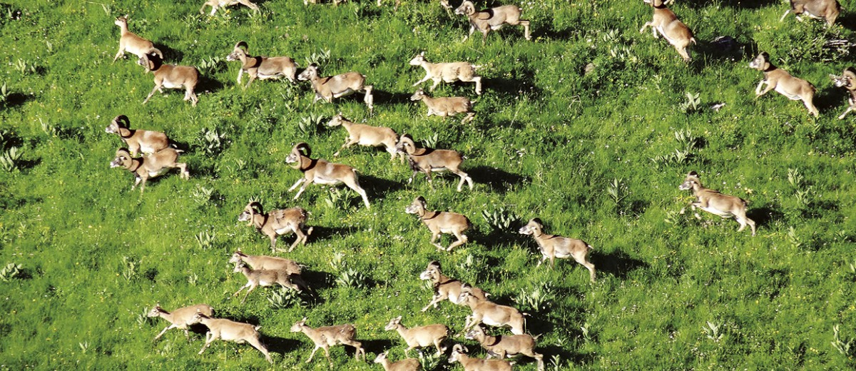 Mouflons Savalene juin 2015