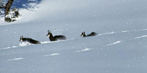 2b Deplacement difficile dans la neige profonde.