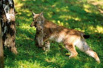 Lynx avec proie (faon de chevreuil) - Lynx with prey (Faon of roe deer) - Felis lynx