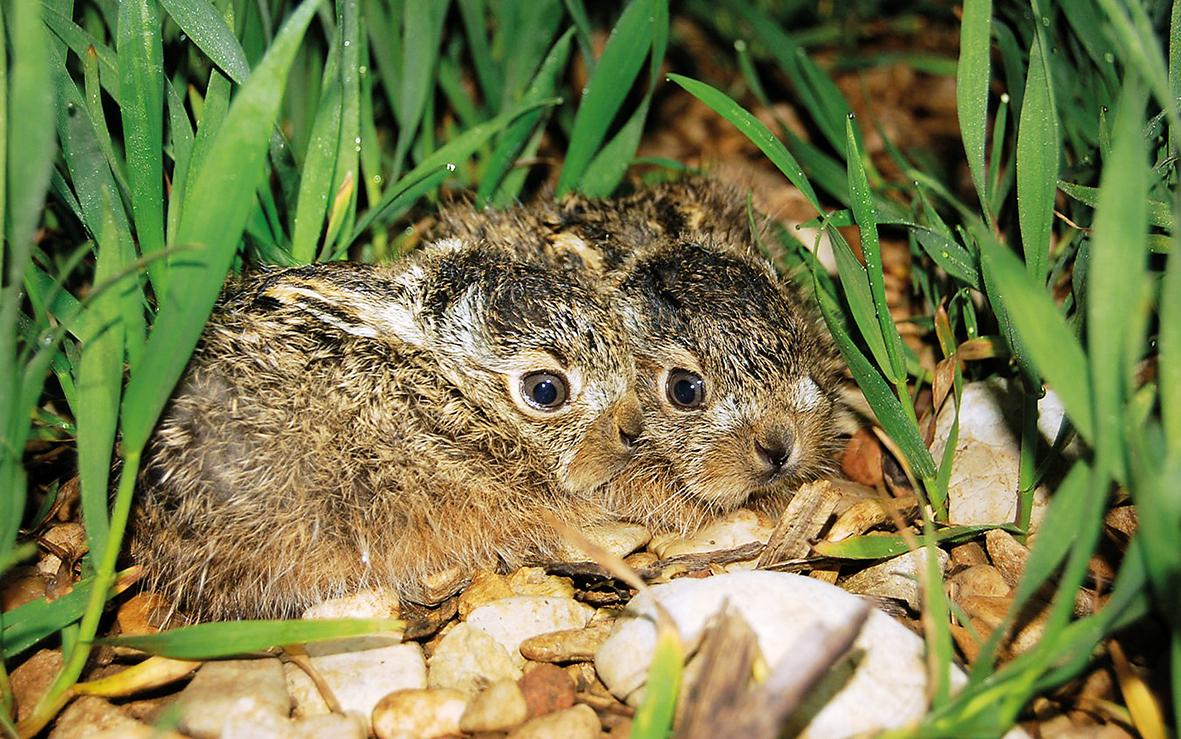 Hopp-Hase: programme en faveur du lièvre brun