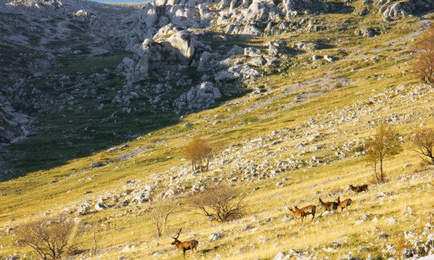 La montagne, l'eldorado du cerf