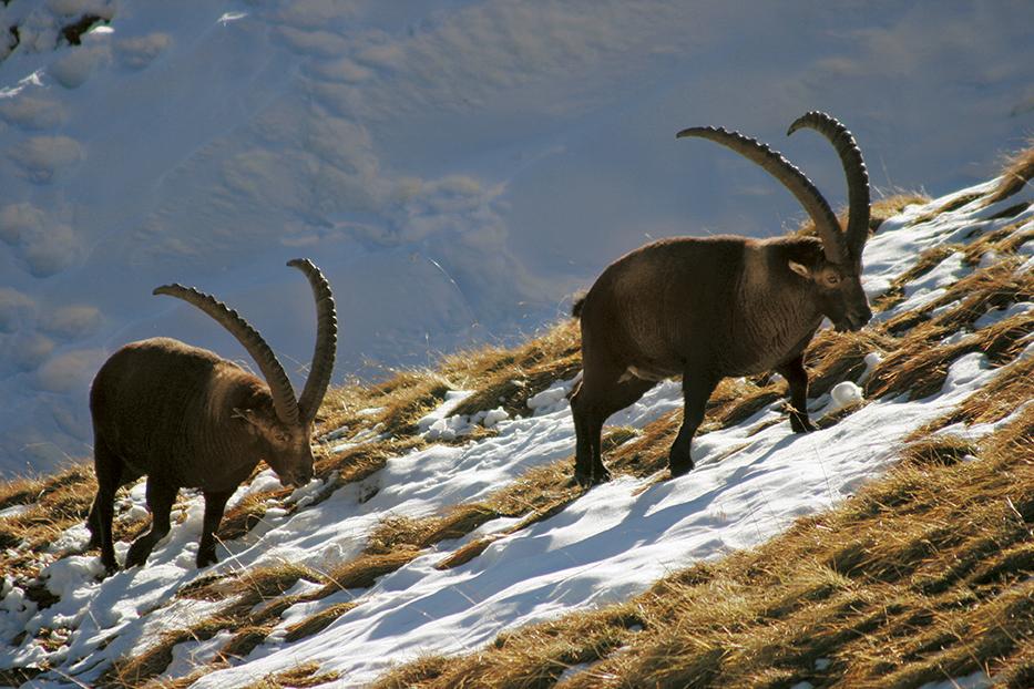 La chasse du bouquetin dans les Alpes vaudoises