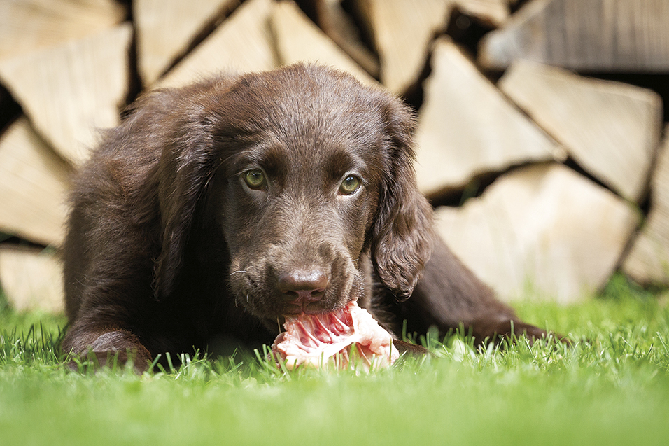 Faut-il nourrir son chien au BARF?